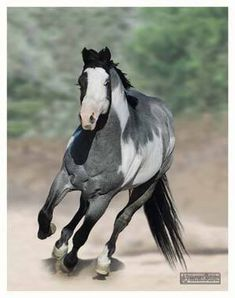 If I have a say about my next horse I would love it to be a blue roan paint
