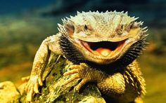 A Florida man was arrested after authorities say he swung a bearded dragon lizard around his head and struck employees with the animal. Benjamin Herman Siegel, owner of Siegel Reptiles in South Flo… Bearded Dragon Care Sheet, Bearded Dragon Funny, Bearded Dragon Habitat, Bearded Dragon Diet, Dragon Pet, Lizard Dragon, Horned Lizard, Smiling Animals, Animals And Pets