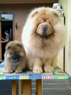 alaskan malamute both so adorable! Cute Puppies, Cute Dogs, Dogs And Puppies, Doggies, Lion Dog, Dog Cat, Baby Animals, Cute Animals, Chow Chow Dogs