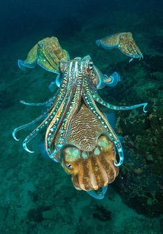Octopus Photography, Underwater Photography, Amazing Photography, Photography Awards, Underwater Creatures, Underwater Photos, Ocean Creatures, Turtle Traps, Blanket Octopus