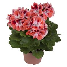 100 Pcs Drawf Bonsai Geranium seeds Rare Variegated Geranium Flower Seed Potted Winter Garden Flower for Bonsai Plant for Graden Bonsai Seeds, Bonsai Plants, Garden Plants, House Plants, Outdoor Plants, Potted Garden, Geranium Flower, Hydrangea Flower, Flower Pots