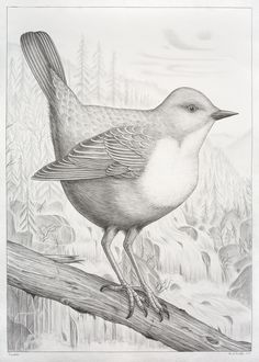 Fossekallen (Dipper) via Brenneriveien. Click on the image to see more!