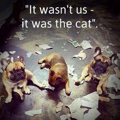 Naughty French Bulldog Puppies.