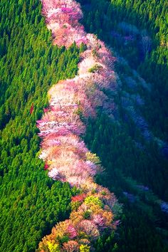 Wild Cherry trees in Japan