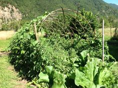 Beans and tomatoes on woven bamboo trellis/ arch