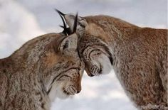 Twitter, Lynx love :} #worldanimalday pic.twitter.com/4lQDAwulnd