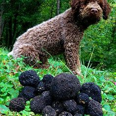 Our beloved truffle dog - Sara. Lagotto Romagnolo, special breed used for truffle hunting.