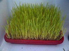 RUMPUT GANDUM wheatgrass: Menanam Rumput Gandum di Kulkas