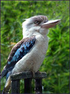 kookaburra and kingfisher photos I Like Birds, Pretty Birds, Beautiful Birds, Animals Beautiful, Cute Animals, Australia Animals, Australian Birds, Watercolor Bird, Exotic Birds