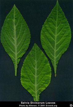 Erowid Plants Vaults : Images : salvia divinorum leaf