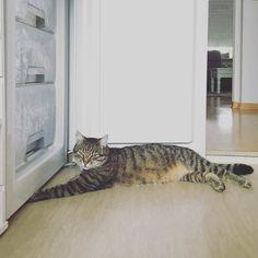 Just found a cool place: #freezer  #luckythecat #love #cute #catsofsalzburg #unterfoehring #germany #cat #meow #ilovemypet #catlovers #lovekittens #instapet #catsagram #kitten #kitty #catstagram #kittycat #catsofinstagram #ilovemycat #catlove #catoftheday #furry #cats_of_instagram #cats #catlife #katze #katzenliebe #miezekatze