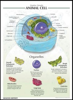 Animal cell                                                                                                                                                     More