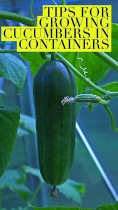 Learn how to grow cucumbers successfully in containers. No vegetable garden? No problem. Growing cucumbers in pots is the answer, and here are some garden ideas to do it right.