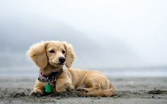 Symptoms of Laryngitis in Dogs