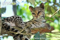 The Margay wild cat of South America