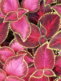 Overwintering Coleus: Learn the best way to root coleus cuttings for next year's flowerbed. | From the October/November 2013 issue of Organic Gardening