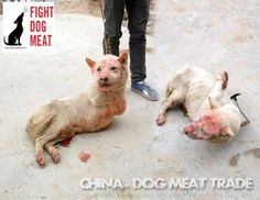Oh The Humanity Fail! China: Cruel Dog Meat Trade This poor dog has been beaten and probably already stabbed, judging by the pool of blood by it's hind legs. Humans are great though, self-aware image of God and all!!