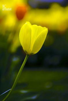 yellow tulip by Recep Cirik on 500px