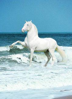 Beautiful Spanish Walk - Andalusian Stallion