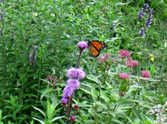 Native plants are amazing for helping native pollinators and butterflies like this Monarch on blazing star wildflower in our rain garden. Rain Garden, Urban Homesteading, Native Plants, Wild Flowers, Butterflies, Adventure, Star, Amazing, Wildflowers