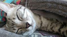 Sleepy Sunday!!!~~Cassie #Cassiethekitten #SilverEgyptianMau #EgyptianMau #cutekitten