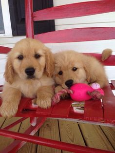 Pair of Golden puppies