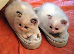 Best of the Week Cute Animal Pictures - Cutest Paw Cute Kittens, Cats And Kittens, Fluffy Kittens, Crazy Cat Lady, Crazy Cats, Cute Baby Animals, Funny Animals, Fuzzy Slippers, Cute Animal Pictures