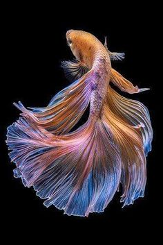 Beautiful Types of Betta Fish with Amazing Pictures - Type of Betta Fish. If you are like me and have a strong passion for freshwater aquariums, you have probably considered incorporating Betta fish to your tank. Pretty Fish, Beautiful Fish, Beautiful Pictures, Beautiful Sea Creatures, Animals Beautiful, Colorful Fish, Tropical Fish, Poisson Combatant, Betta Fish Types