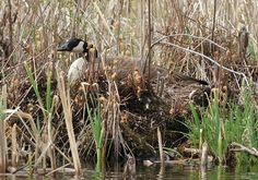 Goose on nest with eggs by Liz Castro, via Flickr