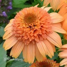 Supreme Cantaloupe cone flower