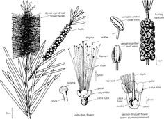 native australian plants and trees - Google Search
