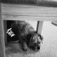 Big old Sulk. Border Terrier style!