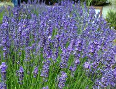 American Bred Phenomenal Lavender | Phenomenal Lavender | American ...