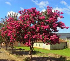 Unique Plants, Colorful Trees, Garden Trees, Blooming Flowers, Flowering Trees, Bonsai, Beautiful Flowers, Julia, Lagerstroemia Indica