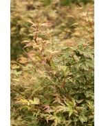 Butterfly Japanese Maple (Acer palmatum 'Butterfly') - Monrovia - Butterfly Japanese Maple (Acer palmatum 'Butterfly')