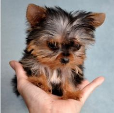 The Popular Pet and Lap Dog: Yorkshire Terrier - Champion Dogs Teacup Yorkie, Yorkie Puppy, Teacup Puppies, Cute Puppies, Cute Dogs, Dogs And Puppies, Mini Yorkie, Pomeranian Dogs, Maltese Puppies