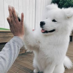 Dogs Aesthetic Flowers - Samoyed Dogs Mix - - - Dogs And Puppies Fluffy - Cute Dogs And Puppies, Baby Dogs, Doggies, Tiny Puppies, Silly Dogs, Adorable Puppies, Cute Funny Animals, Cute Baby Animals, Samoyed Dogs