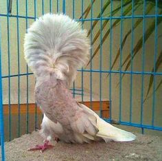 Natural Beauty – Google+ Jacobin Pigeon, Bird Feathers, Natural Beauty, Owl, Birds, Fancy, Pakistan, Nature, Animals
