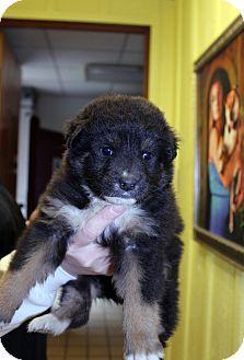 3/5/16 Lumberton, NC - Bernese Mountain Dog/English Shepherd Mix. Meet Smidge, a puppy for adoption. http://www.adoptapet.com/pet/15043129-lumberton-north-carolina-bernese-mountain-dog-mix
