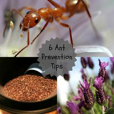 How to deal with ants in the house (without poison)