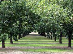 pecan farms in New Mexico - Google Search