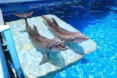 Winter and Hope, our two wonderful, and famous, dolphins at the Clearwater Marine Aquarium. Both recently starred in Dolphin Tale 2, the movie!