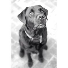 When I am having a rough day (like today), Buzz always helps me find a #SilverLining. #dog #labrador #ilovehimsomuch