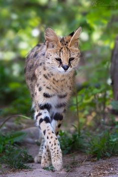 Serval Cats, Caracal, Animals And Pets, Cute Animals, Grand Chat, Exotic Cats, Cats Bus, Siberian Cat, Ocelot