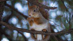 Wiewiórka, Gałązki, Bokeh