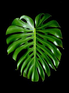 Monstera Leaf ~ Tropical Plant Photography Print Art Prints Online, Buy Art Online, Leaf Prints, Wall Art Prints, Green Wall Decor, Robert Mapplethorpe, Affordable Wall Art, Still Life Photography, Tropical Plants