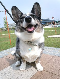 Cardigan Welsh Corgi on Pinterest