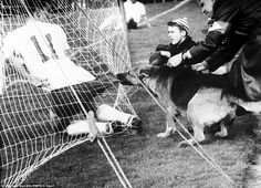 A police alsatian bites the shorts of Fortuna Dusseldorf's Woske, after he slid into the net trying to convert a cross. Fortuna Dusseldorf's Dieter Woske wasn't expecting this when he slid into the net trying to convert a cross during a German league clash with Koln in 1959, as a police alsation attempts to relieve him of his shorts. From what I gather, Woske did eventually escape this unfortunate situation and was able to play on.