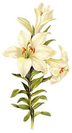 Easter lily I have 8 in 2 old windows so easy and pretty Botanical Flowers, Botanical Prints, Art Floral, Flower Images, Flower Art, Illustration Blume, White Lilies, White Flowers, Botanical Drawings