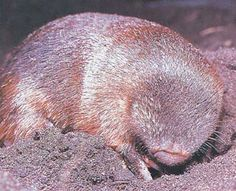 the Golden Mole is the first known iridescent mammal with multilayered fur which act to reflect light similar to the 'eye shine' of nocturnal mammals. Nocturnal Mammals, Elephant Shrew, Mysterious Universe, Interesting Animals, Interesting Facts, All Gods Creatures, Science And Nature, Beautiful Creatures, Animal Kingdom